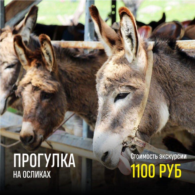 Прогулка на осликах. Цена — 1100 рублей.